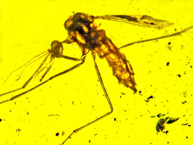 Mosquitoes that carry malaria may have been doing so 100 million years ago
