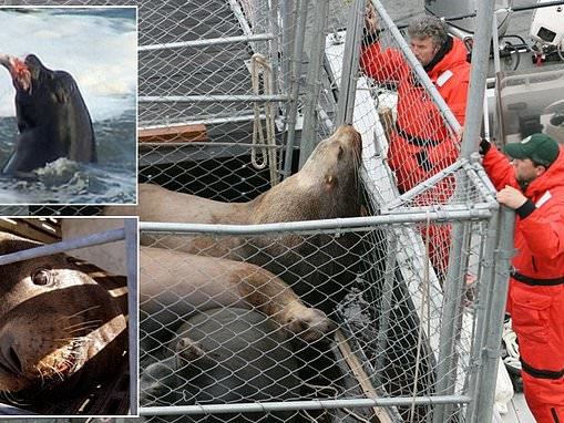 Wildlife Officials in Oregon commence project to kill 93 sea lions per year in a bid to protect fish