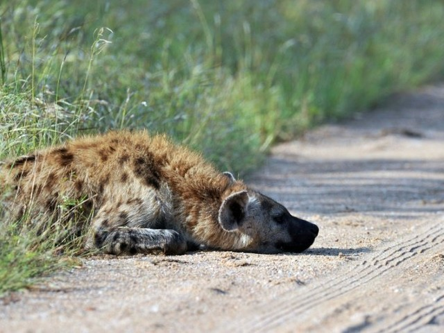 Spotted hyena returns to Gabon park after 20 years: researchers