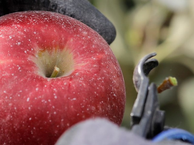 This new variety of apple has a $10 million hype machine behind it — and farmers are hoping it can save Washington's apple industry