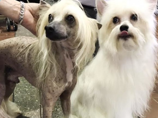 These Westminster Kennel Club Contestants Are Doggone Crazy Looking