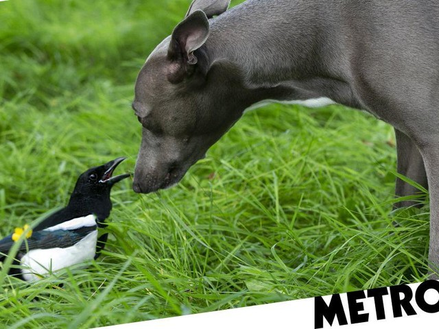 Boo the dog is best friends with Mike the magpie and it's just so pure
