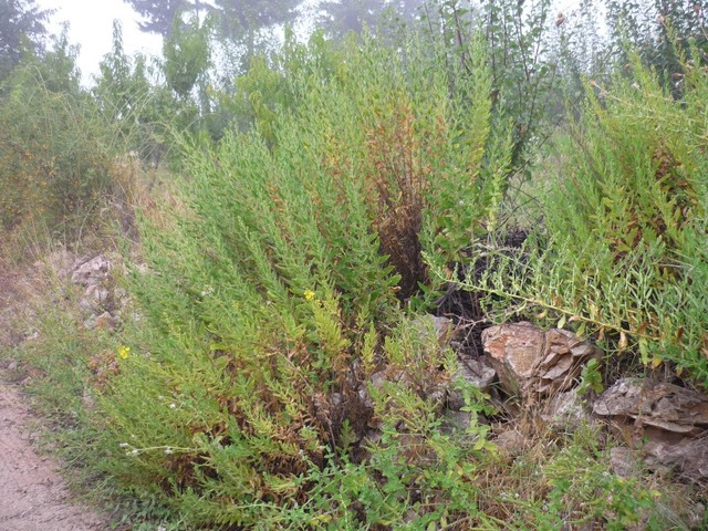 Compound from medicinal herb kills brain-eating amoebae in lab studies