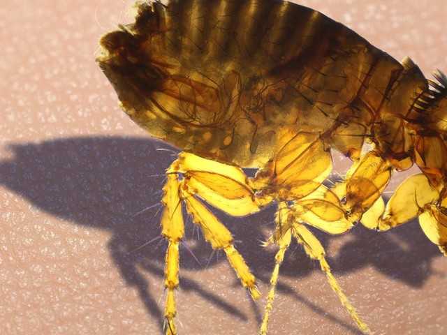 Fleas can sense the breathe, warmth, and vibration of blood-filled mammals. That's just one reason why these pests are so difficult to control.