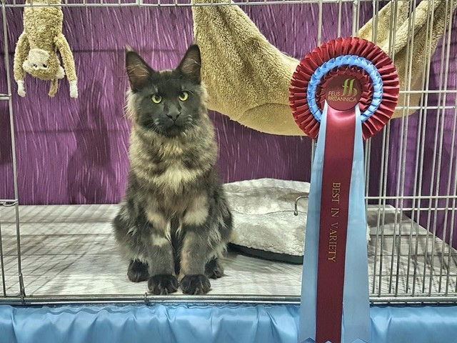 Frolicking Fun Felines at the Felis Britannica International Cat Show