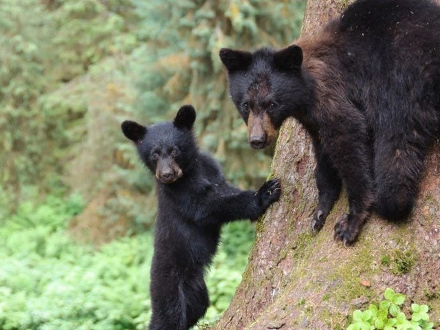 The Trump administration just restored Alaska hunting rules that allow killing bear cubs, and using doughnuts, dogs, and bright lights to kill bears