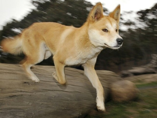 Australia orders urgent review after spate of dingo attacks