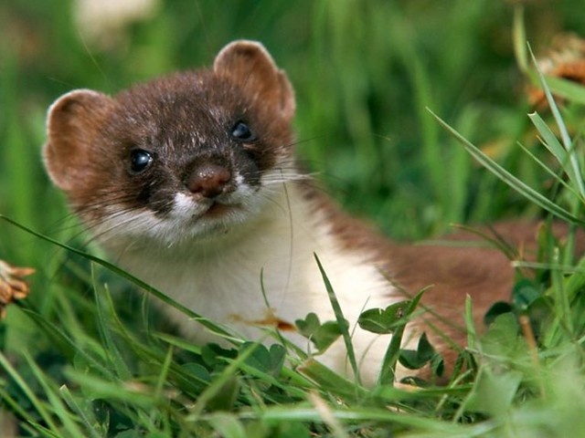 Traps set after first Rousay stoat sighting in Orkney