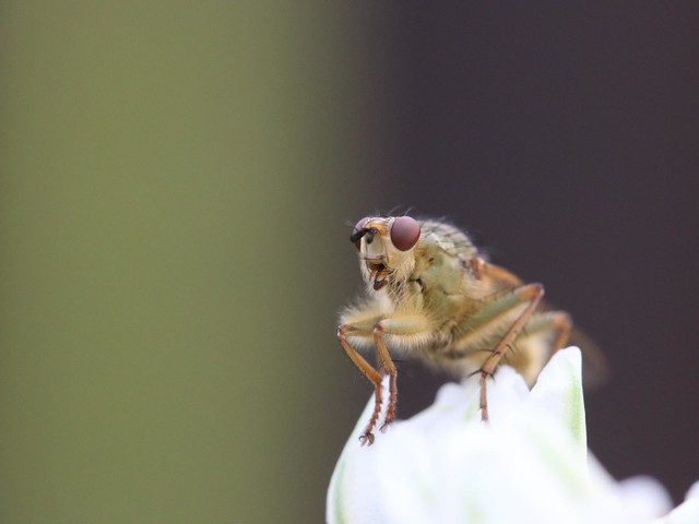 Cross-bred flies reveal new clues about how proteins are regulated