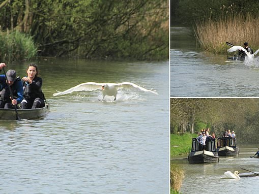 Divebombing swan puts canoeists in a flap by knocking them into the water during race