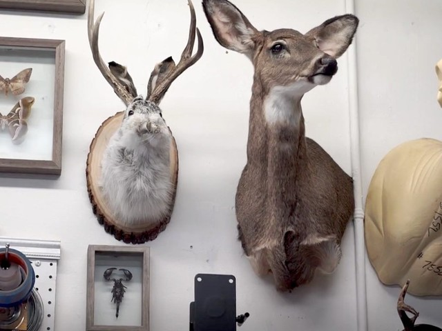 What it takes to be a professional taxidermist
