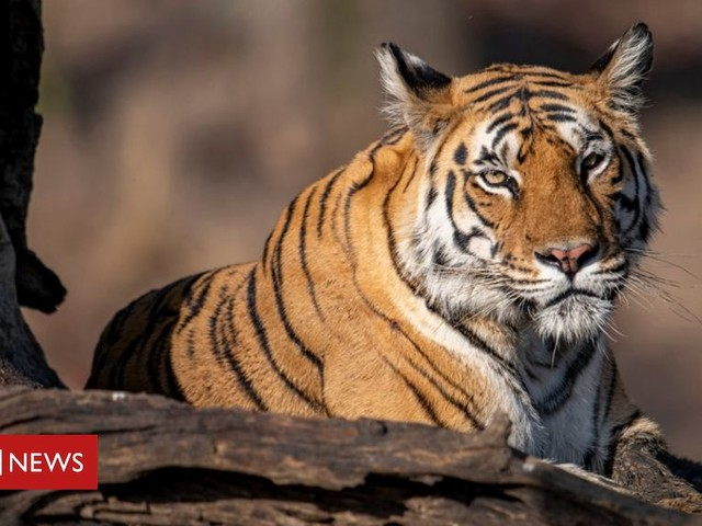 In pictures: International Tiger Day 2021