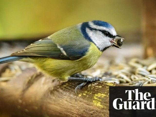 What do small birds eat when no seed or grain is available?