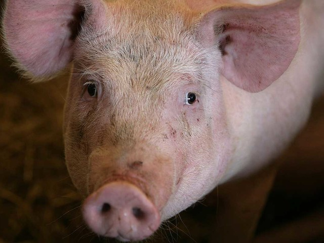 Why everyone's talking about swine fever