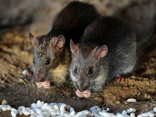 New York preps rat birth control test-run