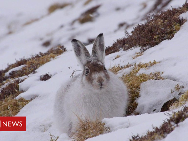 Study suggests drastic decline in mountain hares