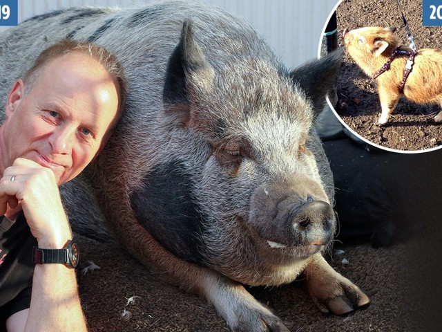 Family's home taken over by 28 stone pet sow they thought was a micro-pig