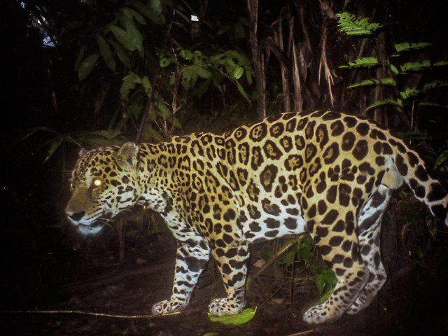 predation habits of jaguars