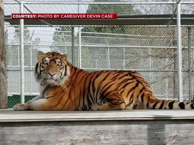 Tiger found in vacant Houston home now enjoying new surroundings in north Texas