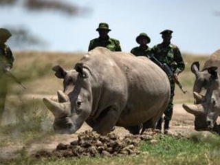 Exracted eggs may prevent extinction of northern white rhino