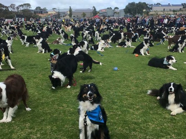 576 border collies gathered together for a borking good time