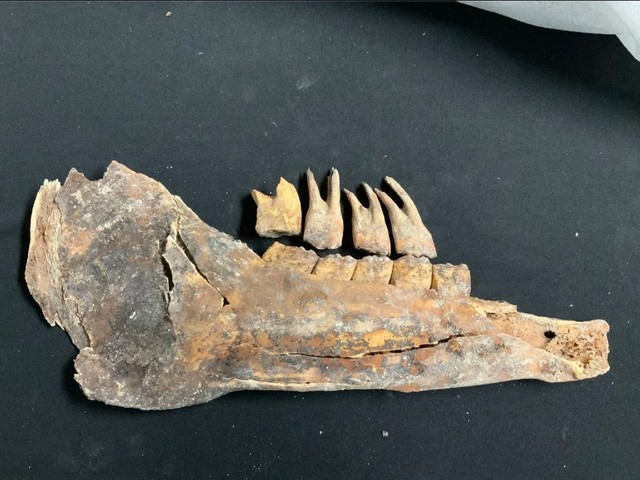 Las Vegas couple finds a horse skeleton from the Ice Age during backyard pool excavation