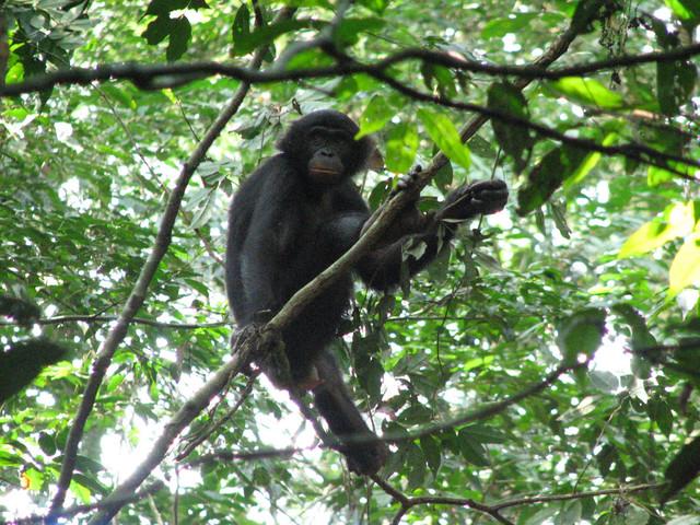 Study identifies new malaria parasites in wild bonobos