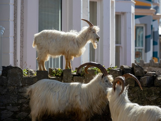 Herd of goats take over empty Welsh town during Covid-19 lockdown