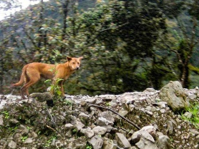 He Was Searching For Intersexual Pigs And Ended Up Finding The World's Rarest Dog