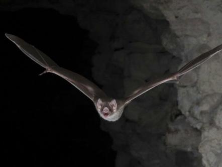 Vampire bat's blood-only diet 'a big evolutionary win'
