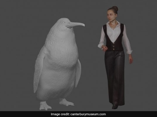 """""""Human-Sized"""" Penguin Fossil Found In New Zealand"""