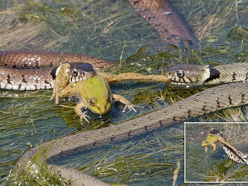 Tiny amphibian desperately tries to escape clutches of two hungry grass snakes as they eat him alive