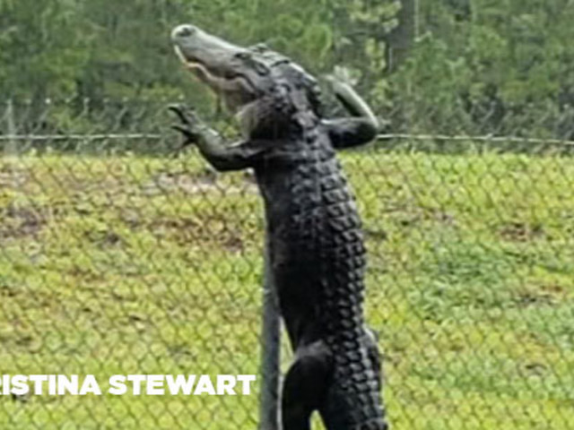 Florida gator scales fence of naval air station