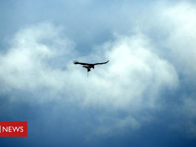 Appeal over golden eagle 'with trap on leg'