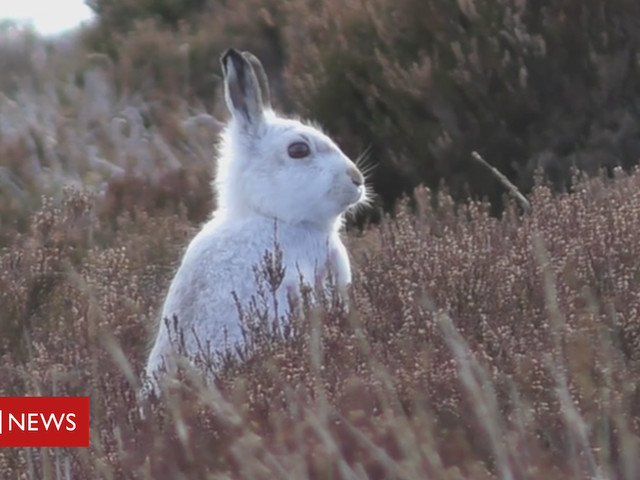 Study suggests dramatic decline in mountain hares