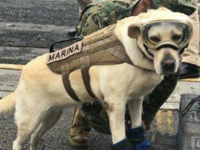 Frida the Mexican Labrador retriever helps rescue people during natural disasters