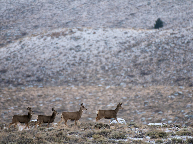 Migrating mule deer don't need directions: study