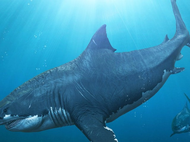 Megalodons may have grown to the size of school buses by eating their shark siblings in the womb, new research suggests