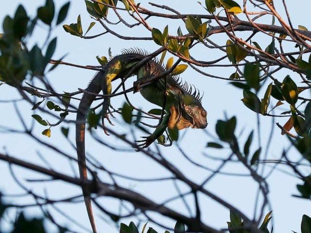 Iguanas are falling out of trees in Florida. Here's why
