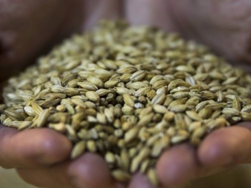 Barley shortages from climate change could mean less beer worldwide