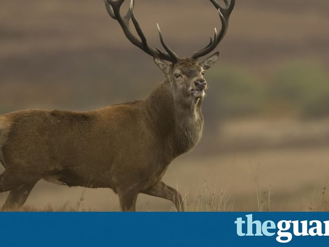 Country diary: stalking red deer on the fringes of the city