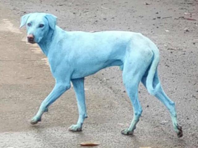 Blue dogs appear in Navi Mumbai