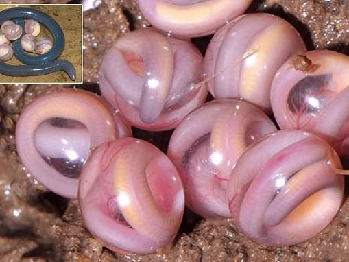Strange images of pink 'marbles' are the eggs of a legless amphibian
