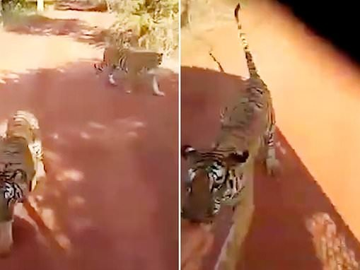 Tiger latches on to drape hanging from terrified tourists' safari jeep and chases after them