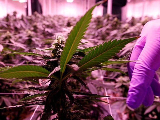 Cannabis firms are cutting hundreds of jobs as the once hot industry contends with a 'toxic' landscape