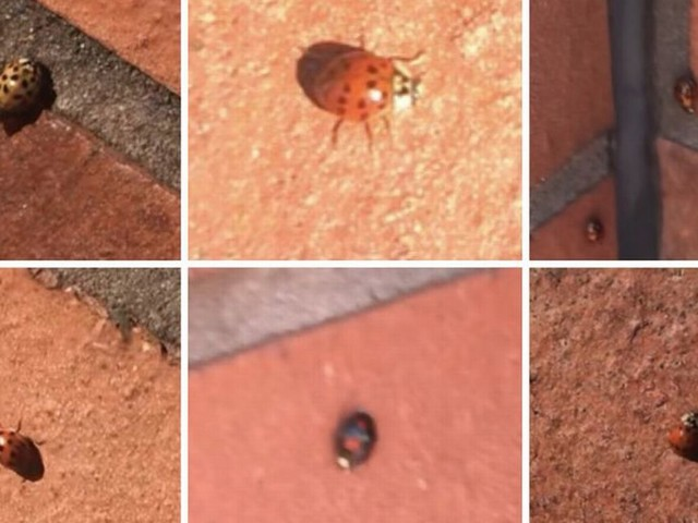 Why has there been a ladybird outbreak in Greater Manchester?