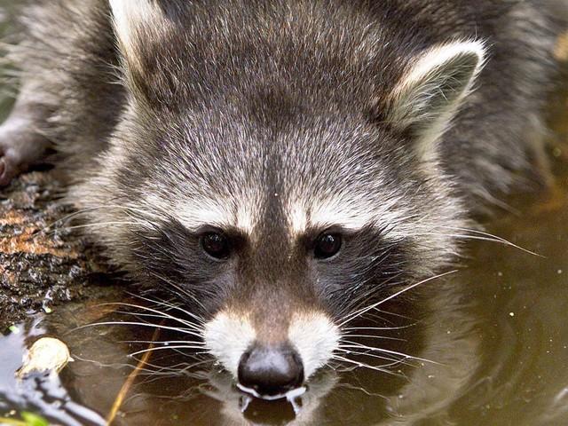 Man questioned over dead raccoon in McDonald's