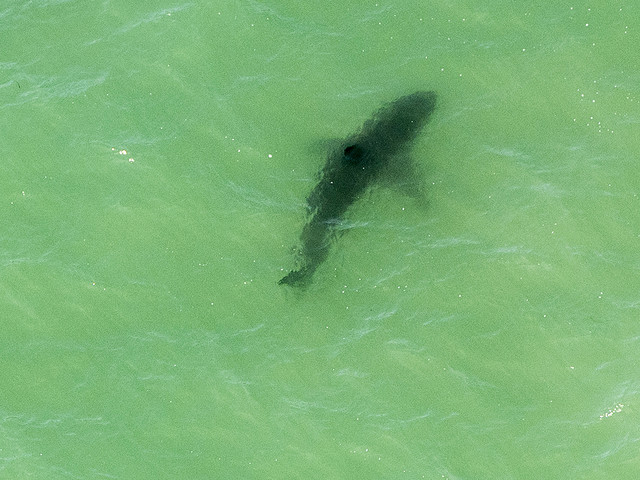 Great whites spotted near Maryland, New Jersey beaches as Mid-Atlantic waters heat up