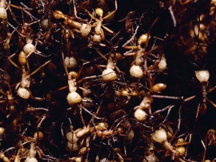 World's fastest ants discovered