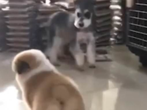 Canine collision course! Chubby furball corgi is sent rolling by over-excited miniature schnauzer